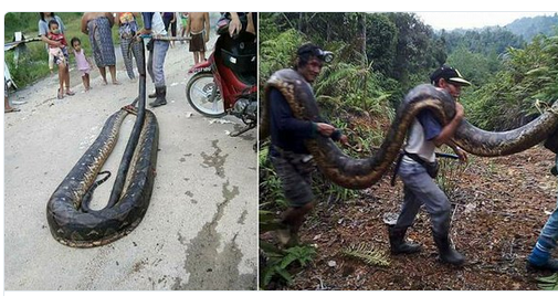 hungry villagers killed python