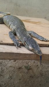 Check Out This Strange reptile found in Lagos