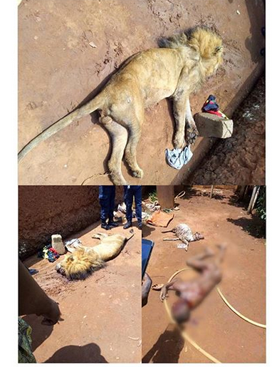 Lion devours 14-yr-old Boy in Benin's private zoo