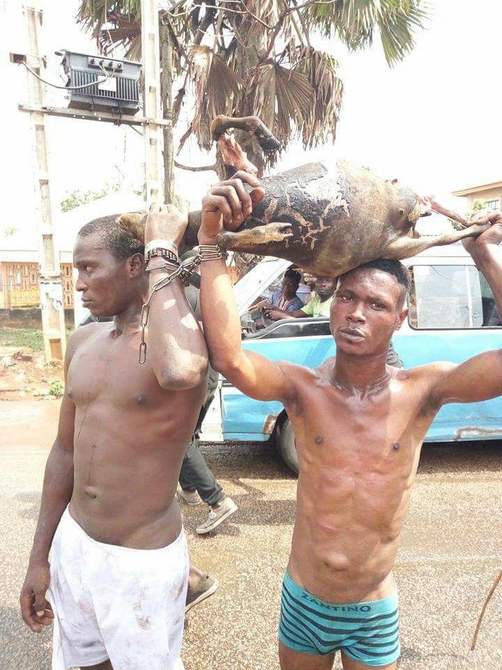 Robbers Caught While Roasting A Stolen Goat. See What The Owner Did To Them