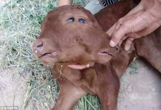 See Bizarre Photos Of Two Headed Calf