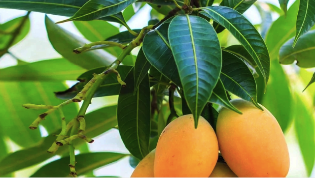 Top 10 Medicinal Uses Of Mango Leaves